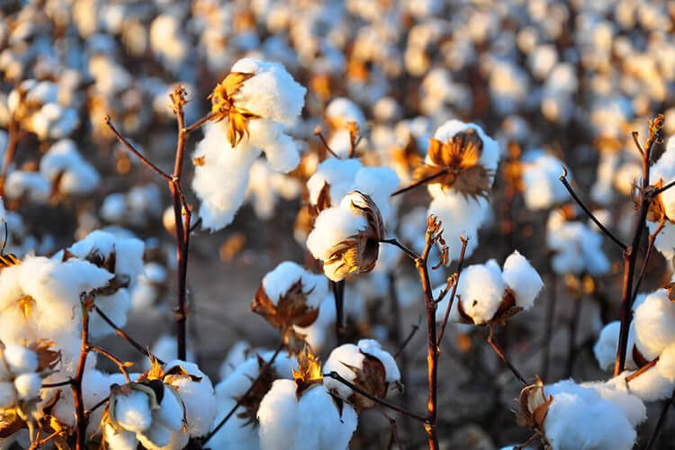 Palmpring cotton field